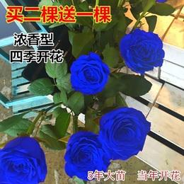 四季浓香型玫瑰月季花苗盆栽蓝色妖姬室内阳台蔷薇花苗绿植物包邮