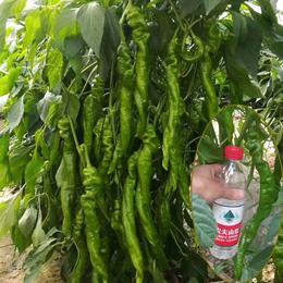 巨型陇椒种子 特大螺丝椒龙椒辣椒 农家基地四季种植高产蔬菜籽
