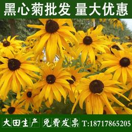 黑心菊种子金光菊种子花草花海花卉种子 野花组合种子草花种子