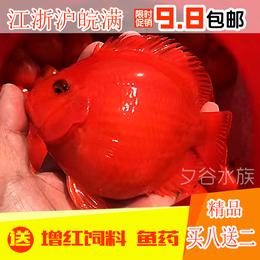 血鹦鹉鱼发财鱼元宝红财神金刚鹦鹉鱼苗活体风水鱼包邮热带观赏鱼
