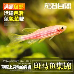 奇溢自然 热带鱼淡水观赏鱼饲料 精品斑马鱼 宠物鱼活体鱼粮