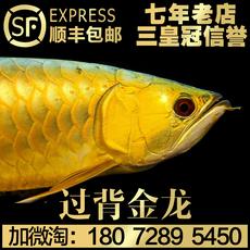 纯种24K小金头过背蓝底B级高背宝石金龙鱼红龙鱼活体鱼苗热带鱼