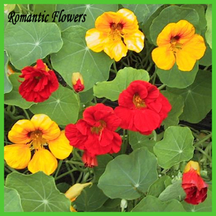 Nasturtium Blending , Diy Baskets , Containers , And Any Flo