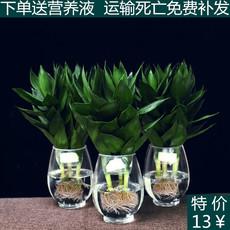 特价观叶水生培植物莲花富贵观音竹带根办公室内盆栽绿植转运包邮