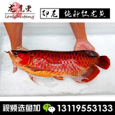 龙虎堂渔场直销印尼超赤血红龙鱼活体鱼辣椒红龙鱼观赏鱼红龙鱼苗
