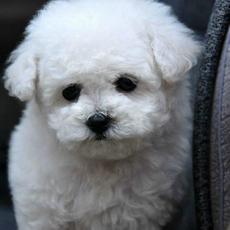 茶杯体白色泰迪犬萌犬泰迪狗狗纯种泰迪熊犬幼犬茶杯泰迪+3