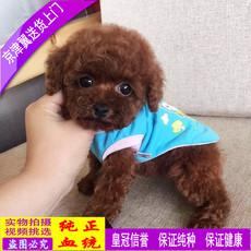 北京狗场出售茶杯玩具迷你泰迪贵宾幼犬白黑红灰咖啡色宠物狗包邮