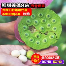 新鲜莲蓬 鲜莲子米即食生吃孕妇水果现采农家野生嫩莲子8朵包邮