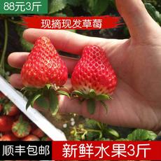 现摘现发新鲜奶油草莓 孕妇水果生鲜 牛奶草莓有机红颜 3斤装包邮