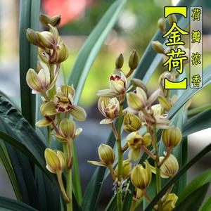 兰花苗<span class=H>建兰</span>金荷夏季浓香型花季带花苞出售绿植花卉盆栽满包邮