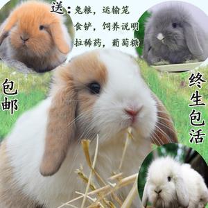 <span class=H>宠物</span>兔子活体折耳兔垂耳兔活体纯种侏儒兔猫猫兔长不大迷你兔包邮