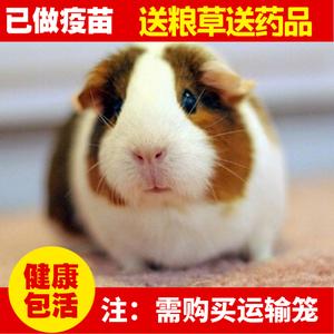 自家繁殖<span class=H>宠物</span>荷兰猪活体宝宝豚鼠活体天竺鼠家养健康包活包邮