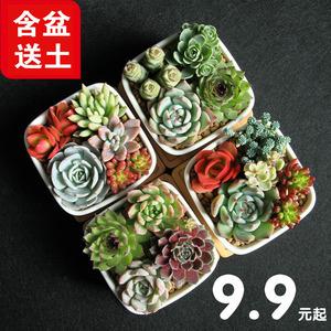 多肉观花植物批发组合盆栽肉肉绿植带含盆肉嘟嘟室内花花卉<span class=H>包邮</span>
