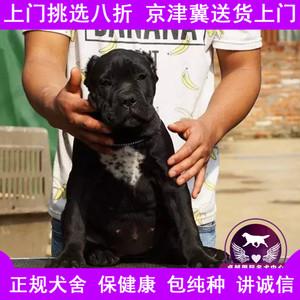 出售意大利卡斯罗<span class=H>犬</span>幼<span class=H>犬</span>血统黑卡斯罗护卫猛<span class=H>犬</span><span class=H>宠物</span>狗活体精品