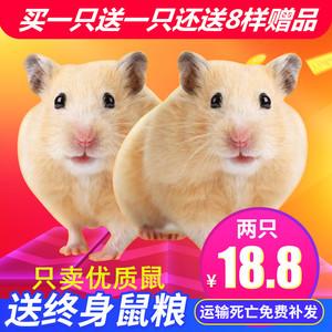 仓鼠活物小仓鼠活体银狐布丁紫仓三线奶茶鼠<span class=H>宠物</span>情侣一对稀有巨型