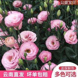 云南昆明鲜花家用洋桔梗批发水养鲜切花办公室散花一扎包邮花店