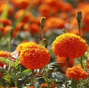 万寿菊花种子花卉<span class=H>鲜花</span>耐寒四季播种<span class=H>园艺</span>园林景观工程绿化种籽