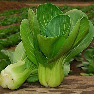寿光蔬菜种子苏州青油菜鸡毛菜小白菜盆栽蔬菜籽家庭菜园种植包邮