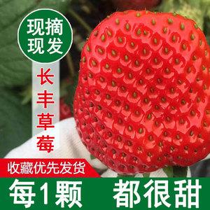 长丰99牛奶草莓新鲜网红版礼盒装水果当季奶油红颜九九大草莓包邮