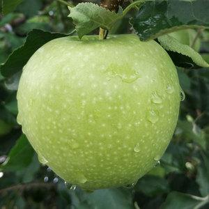 汇承有机青<span class=H>苹果</span>绿色酸水果<span class=H>苹果</span>新鲜时令应季现发孕妇水果包邮4斤