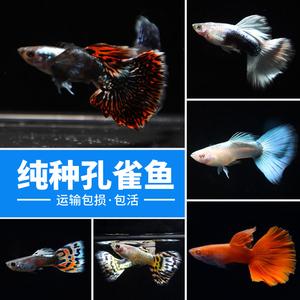 孔雀鱼 孔雀鱼活体纯种观赏鱼红蓝花孔雀鱼<span class=H>宠物</span>热带鱼活体