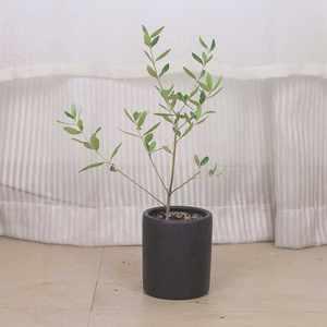 橄榄<span class=H>树苗</span>盆栽植物阳台客厅室内盆景<span class=H>树苗</span>办公室绿植摆设四季常青