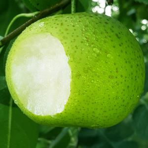 当季现摘砀山果园直发新鲜梨5斤
