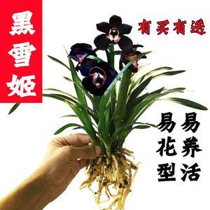 黑雪姬墨兰 <span class=H>兰花</span>苗矮种好养易成活室内盆栽办公室花卉绿植包邮